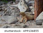 land iguana on santa fe island  ... | Shutterstock . vector #699136855