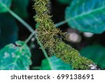 moss and lichens on the branches | Shutterstock . vector #699138691