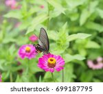 Small photo of Papilio protenor