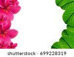 Plumeria Pink Flower And Green...