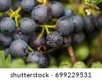 blue grapes close up  | Shutterstock . vector #699229531