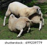 sheep suckling | Shutterstock . vector #699239779