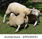 sheep suckling | Shutterstock . vector #699240451