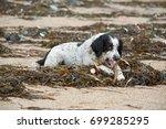 English Springer Spaniel Dog...