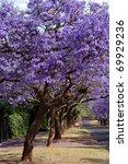 Jacaranda Trees Lining The...
