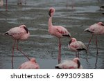 a group of flamingos during... | Shutterstock . vector #699309385