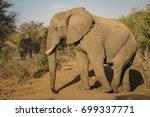 bull elephant in balule | Shutterstock . vector #699337771