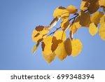 Yellow Aspen Leaves Against The ...