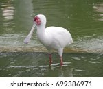 White Spoonbill Standing In Th...