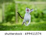 cornish rex kitten meowing | Shutterstock . vector #699411574