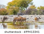 greater kudu herd drinking at... | Shutterstock . vector #699413341