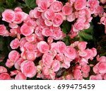 Stock photo rose field 699475459