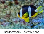 Fish Clown Melanopus In The...