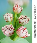 tulips white with the red | Shutterstock . vector #69948127