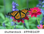 Stock photo side view close up of an orange and black monarch butterfly feeding on a bright pink zinnia flower 699481639