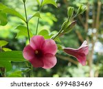 Small photo of Violet Allamanda, Allamanda blanchetii. A large, evergreen climber native to the tropical areas of Central and South America. It's also quite popular in Thailand for climate and nice color flowers.