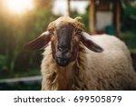 Cute Sheep On A Farm Outdoor...