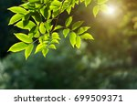 selective focus of fresh green... | Shutterstock . vector #699509371