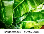 close up green leaf on tree... | Shutterstock . vector #699522001