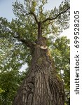 500 Year Old Oak  Which...