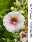 White flower of a Hollyhock with a red ring in centre. A bumblebee collects pollen