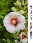 White flower Hollyhock flower with a red ring in centre. A bumblebee collects pollen