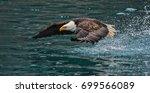 American Bald Eagle Swooping...