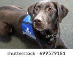 palmer the chocolate labrador... | Shutterstock . vector #699579181