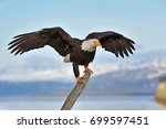 American Bald Eagle Perches On...