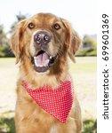 golden retriever park portrait    Shutterstock . vector #699601369