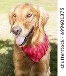golden retriever park portrait    Shutterstock . vector #699601375