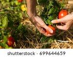 tomatoes harvest. farmers hand... | Shutterstock . vector #699644659