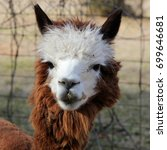 young brown and white alpaca  ... | Shutterstock . vector #699646681