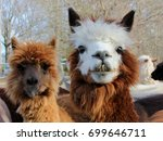 young brown and white alpaca  ... | Shutterstock . vector #699646711