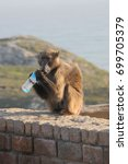chacma baboon or cape baboon ... | Shutterstock . vector #699705379