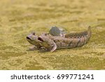 Mudskipper Fish  Amphibious...