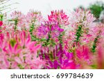pink spider flowers or cleome... | Shutterstock . vector #699784639