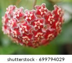 Hoya Red Garland Bloom In The...