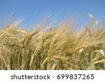Wheat Field On A Sunny Day In...