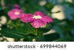 pink magenta flower | Shutterstock . vector #699844069