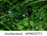 small blue forget me not... | Shutterstock . vector #699853771