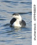 Small photo of Red Throated Diver