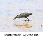 green backed heron  striated... | Shutterstock . vector #699955105