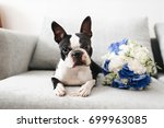 dog with wedding rings. boston ... | Shutterstock . vector #699963085