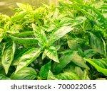 fresh basil leaves  green basil ...   Shutterstock . vector #700022065