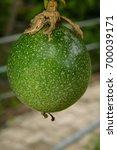 passion fruit  jamaica honey... | Shutterstock . vector #700039171
