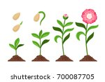 pink flower growth and flourish ... | Shutterstock .eps vector #700087705