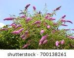 Blooming Butterfly Bush ...