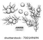 Juniper Drawing. Isolated...