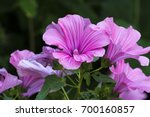 Small photo of Purple funnel-shaped flowers of Lavatera - flowering plants in the family Malvaceae (Lavatera trimestris)